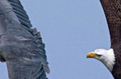 Interesting Photo of the Day: Bald Eagle In Pursuit of a Great Blue Heron | Photography | Scoop.it