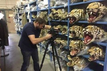 Photos - Environmental Investigation Agency - Stuffed Tiger Heads | Wildlife Trafficking: Who Does it? Allows it? | Scoop.it