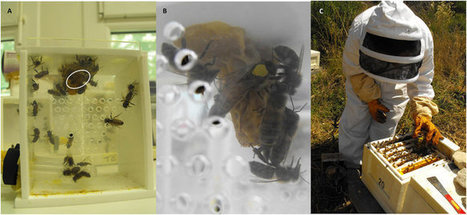 Combined neonicotinoid pesticide and parasite stress alter honeybee queens' physiology and survival | La recherche en apiculture | Scoop.it