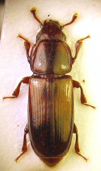 Forêt. Bataille de coléoptères sur l'épicéa | EntomoNews | Scoop.it