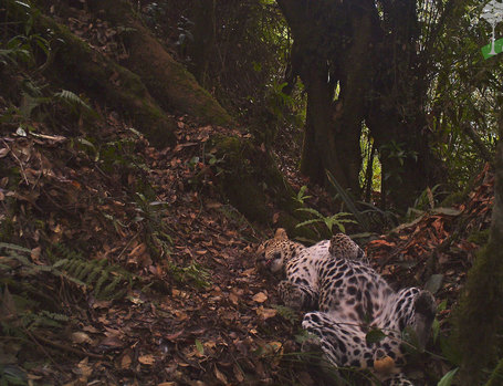 Carefree leopard makes screen debut | Wildlife News | Scoop.it