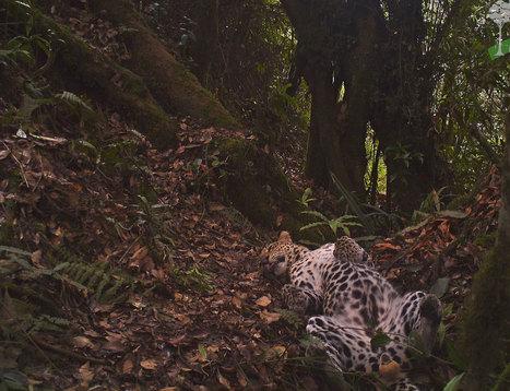 Carefree leopard makes screen debut | Wildlife News | Scoop.it