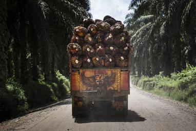 En 2015, l'huile de palme ne sera toujours pas durable | Mirjam Glänzer | Scoop.it
