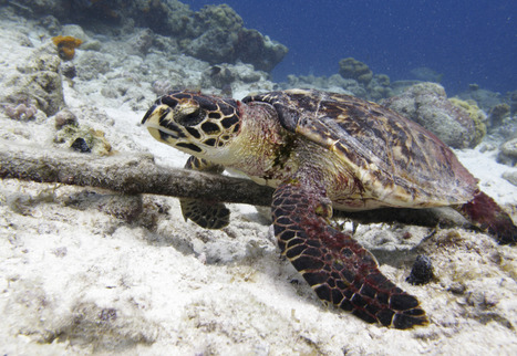 "Sea Turtles Get the Spotlight in U.S.-Cuba Thaw (""marine conservation is beyond politics"") 
