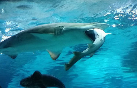 WATCH: Shark Slowly Eats Rival In Brutal Aquarium Attack | Xposed | Scoop.it