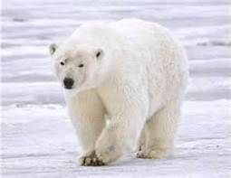 Polar bears could be extinct in 25 years: Experts - Care2 News ... | Polar Bears- Kearney | Scoop.it