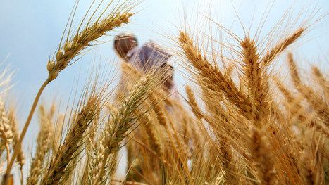 Monsanto: Rogue Genetically Engineered Seed Contaminates Traditional Crops | YOUR FOOD, YOUR ENVIRONMENT, YOUR HEALTH: #Biotech #GMOs #Pesticides #Chemicals #FactoryFarms #CAFOs #BigFood | Scoop.it
