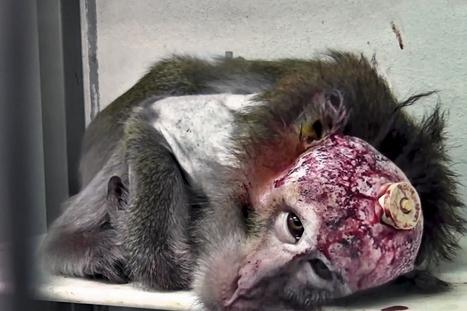 11,5 millions d'animaux cobayes par an : Expérimentation animale, une barbarie injustifiée | Chronique d'un pays où il ne se passe rien... ou presque ! | Scoop.it