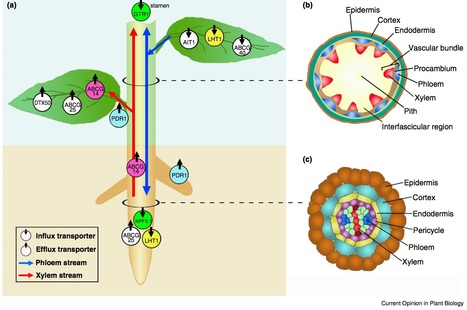 Curr Opinion Plant Biol: Long-distance transport of phytohormones through the plant vascular system   microbial pathogenesis and plant immunity   Scoop.it