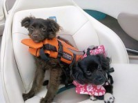 Even Water Dogs Should Wear A Life Jacket - Patch.com | Gentle Dog Training and Care | Scoop.it