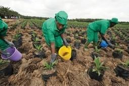 Agro-industrie : l'ivoirien Sifca accélère son régime singapourien | Questions de développement ... | Scoop.it