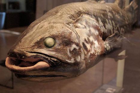 Le coelacanthe, un poisson préhistorique devenu contemporain. Evolution? Ou pas... | Le saviez-vous? | Scoop.it