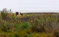 Assateague strives to keep horses wild | Horse and Rider Awareness | Scoop.it