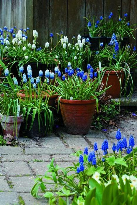 Muscari bulbs plant now autumn for spring bl - Planting hyacinths pots ...