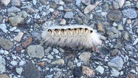 Venomous caterpillar spotted in Pennsylvania - CBS News | CLOVER ENTERPRISES ''THE ENTERTAINMENT OF CHOICE'' | Scoop.it