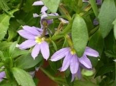 Flor-canhota – Scaevola aemula | Jardineiro.net | paisajismo | Scoop.it