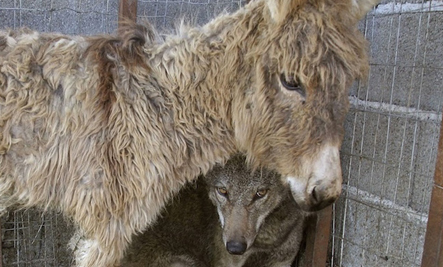 Wolf and Donkey: a Lifesaving Friendship (Photos) | This Gives Me Hope | Scoop.it