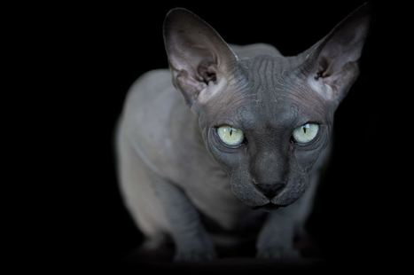 Hairless #Sphynx #Cats #photo - Explore Their Odd Beauty | Design Ideas | Scoop.it