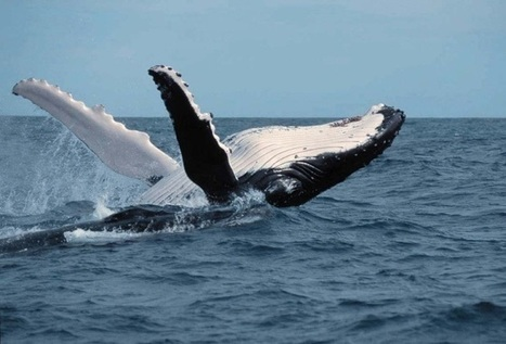 #Singing Humpback #Whales Tracked by their Haunting Melodies | Rescue our Ocean's & it's species from Man's Pollution! | Scoop.it
