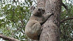 Koala count volunteers needed - ABC Local | Animal Welfare | Scoop.it