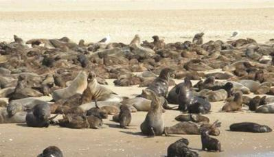 #NamibiaGov #okays #harvesting' of 86 000 #Seals !   Rescue our Ocean's & it's species from Man's Pollution!   Scoop.it