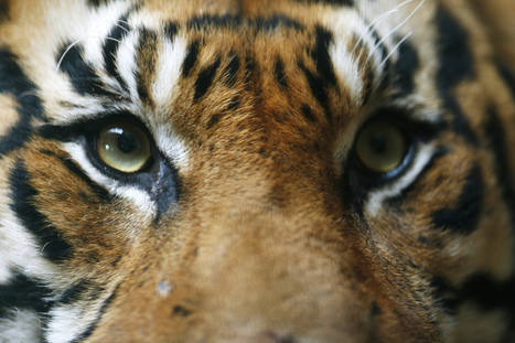 Indonesia Sees Rise in Sumatran Tiger Numbers | Helping Wildlife Conservation Through Art | Scoop.it