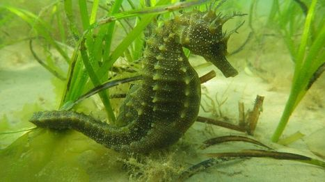 The Seahorse Trust calls for better protection for seahorses in Dorset | Marine Conservation Research | Scoop.it
