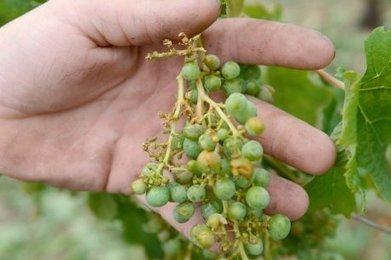 Les soins à la vigne après la grêle - Sud Ouest | Images et infos du monde viticole | Scoop.it