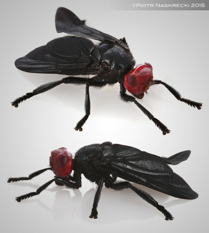 Mozambique Diary: Red-headed flies / Journal du Mozambique : Les mouches à tête rouge   Insect Archive   Scoop.it