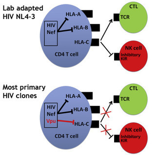 HIV-1 Vpu Mediates HLA-C Downregulation: Cell Host & Microbe | Virology and Bioinformatics from Virology.ca | Scoop.it