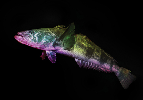 The Fish That Could Save Antarctica | Global Aquaculture News & Events | Scoop.it