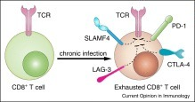 SLAM family receptors in normal immunity and immune pathologies   Host Cell & Pathogen Interactions   Scoop.it