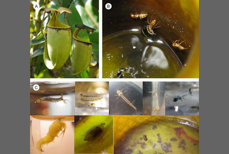 Ants And Carnivorous Plants Collaborate For Mutualistic Feeding - Science News - redOrbit | Erba Volant - Applied Plant Science | Scoop.it