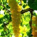 Grape phenology and GDD accumulation | Plant Pest Modeling | Scoop.it