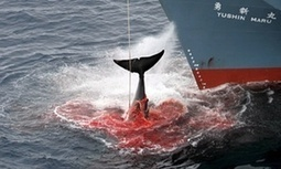 #Australia slams #Japan's decision to resume #Antarctic #whaling #boycottJapan | Messenger for mother Earth | Scoop.it