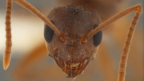 'Crazy' Ants Driving out Fire Ants in Southeast | All About Ants | Scoop.it
