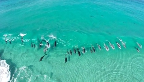 Drone films dozens of wild dolphins surfing together | connectivity | Scoop.it