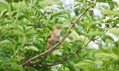 Approval to build 5,000 homes on nightingale habitat condemned | GarryRogers NatCon News | Scoop.it