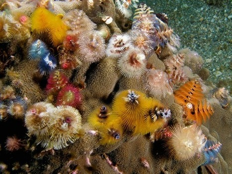 The Christmas Tree Worm, Decorating Coral Reefs Year-Round | All about water, the oceans, environmental issues | Scoop.it