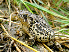 Feds finalize plan to save country's most endangered toad | GarryRogers NatCon News | Scoop.it