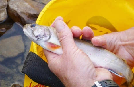 Parks Canada killing fish at Hidden Lake to make way for endangered trout | Food issues | Scoop.it