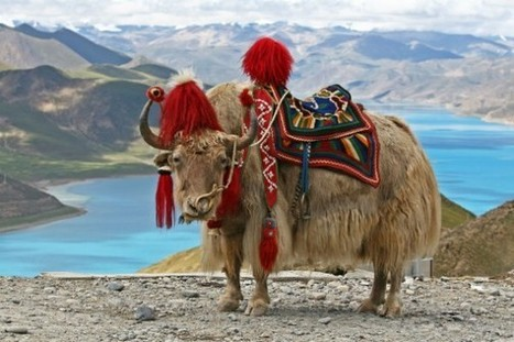 Tibetan Buddist Monks Detained for Saving Yaks from Slaughter | Nature Animals humankind | Scoop.it