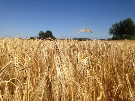 Rainy summer weather causing misery for EU wheat farmers | Grain du Coteau : News ( corn maize ethanol DDG soybean soymeal wheat livestock beef pigs canadian dollar) | Scoop.it
