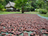 Fairtrade Cocoa Goes Pacific | Fair and Sustainable Trade | Scoop.it