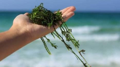 Mettre des algues dans son compost | Valorisation des algues | Scoop.it