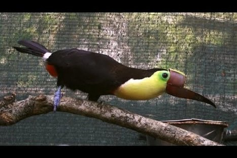 Injured by humans, a bionic toucan joins the fight against animal cruelty | Our Evolving Earth | Scoop.it