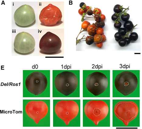 Current Biology: Anthocyanins Double the Shelf Life of Tomatoes by Delaying Overripening and Reducing Susceptibility to Gray Mold (2013) | Erba Volant - Applied Plant Science | Scoop.it