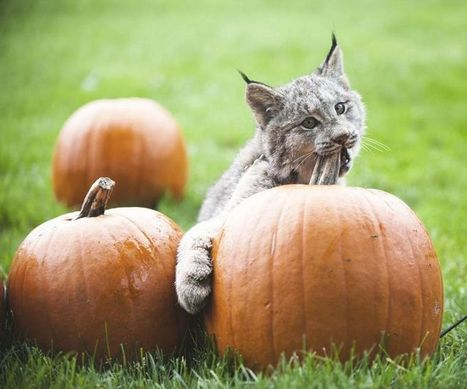 Jasper the Lynx out Perusing the Pumpkins - ZooBorns | Cats Rule the World | Scoop.it