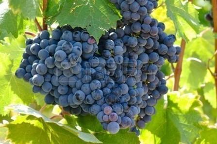 Consumption of dark colored grapes reduces body fat   alternative health   Scoop.it