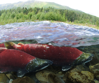 Wild Pacific salmon face an upstream battle for survival | critical reasoning | Scoop.it